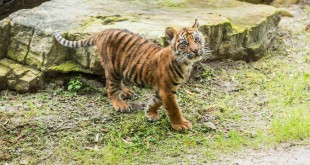 This weekend, Jacksonville Zoo and Gardens' (JZG) Sumatran Tiger Cub, Kinleigh Rose, returned to exhibit after spending a few weeks resting to heal a broken leg. (Photo by John Reed)