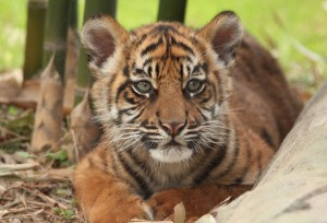 This weekend, Jacksonville Zoo and Gardens' (JZG) Sumatran Tiger Cub, Kinleigh Rose, returned to exhibit after spending a few weeks resting to heal a broken leg. (Photo by Lisa Patria)