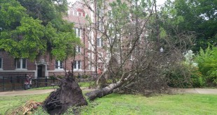 Several trees were knocked over during a thunderstorm Friday at the University of Florida, blocking roads and causing damage to buildings on campus. (Photo courtesy of UF Department of Emergency Management).