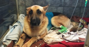 Haus, a German Shepherd, recovers from a snake bite at Blue Pearl in Tampa, Fla., Friday, May 13, 2016. When a venomous Eastern diamondback rattlesnake appeared in the backyard of a 7-year-old Florida girl, her German shepherd, Haus, came to her rescue, refusing to back down despite multiple snakebites. (AP Photo/Tamara Lush)