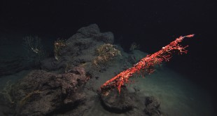 This November 2010 photo, taken in the Gulf of Mexico, shows an overview of the Mississippi Canyon 294 coral community that was discovered in November, 2010 to have been damaged during the Deepwater Horizon oil spill. In the foreground is a large colony of the octocoral Paragorgia, with numerous, smaller, yellow Paramuricea coral colonies with symbiotic brittle stars in the background. The photo was taken via a remote operating vehicle (ROV), at 1390 meters (4500 feet) depth, in the Mississippi Canyon 294 lease block, approximately 10 miles from the site of the former Deepwater Horizon and 130 miles southeast of New Orleans, La. (Lophelia II 2010, NOAA OER, and BOEM, via AP)