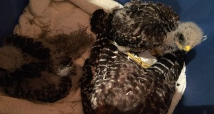 After being rescued, an injured hawk is reunited with her two babies Wednesday for transport to the Animis Foundation. The hawk and her two babies will remain in their care until she is determined healthy enough to be released back into the wild. (Photo provided).