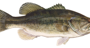A Florida Black Bass (Photo courtesy of Florida Fish and Wildlife Conservation Commission).