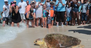 Erica, a loggerhead sea turtle, is released back into the gulf after being treated for pneumonia at Gulf World Marine Institute on Thursday, July 14, 2016, in Inlet Beach, Fla. (Heather Leiphart/The News Herald via AP)