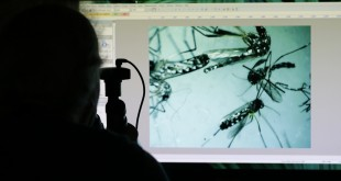 Evaristo Miqueli, a natural resources officer with Broward County Mosquito Control, looks through a microscope at Aedes aegypti mosquitoes, Tuesday, June 28, 2016, in Pembroke Pines, Fla. The mosquitoes were collected from a residential home during a routine inspection, as part of the county's mosquito control procedure. Health officials are concerned about the spread of the Zika virus in the U.S., which is spread by the Aedes aegypti mosquito. (AP Photo/Lynne Sladky)