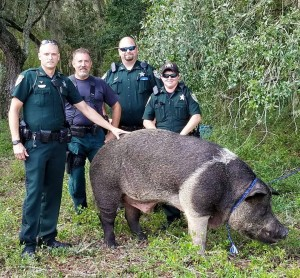 Alachua County Sheriff's Office deputies pose with a 600-pound hog after finding it on Sunday. (Photo courtesy Alachua County Sheriff's Office)