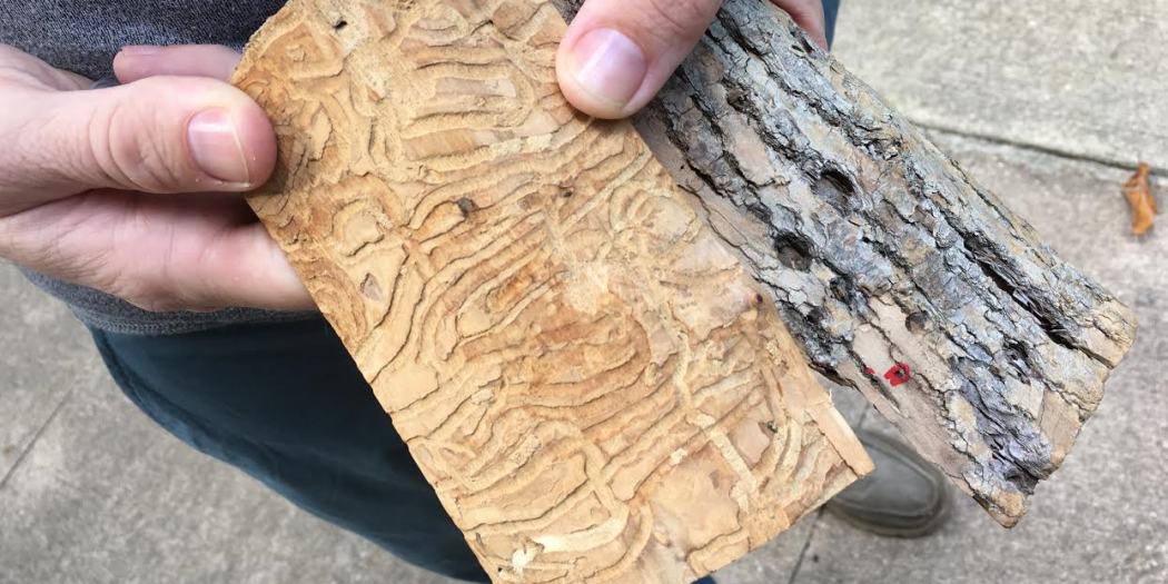 The emerald ash borer beetle lays eggs under the bark of ash trees. When the eggs hatch, the larvae feed on the bark, depriving  the tree of food and water.  The escape hole in the bark can be seen circled in red. (Gabriela De Almeida/WUFT News)