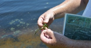 Bruce Jaggers, an invasive plant biologist for the Florida Fish and Wildlife Conservation Commission, holds a piece of hydrilla. Hydrilla is an exotic, invasive plant that is being treated in Lake Rousseau. (Cecilia Mazanec/WUFT News)