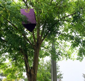 A purple prism trap hangs in an ash tree in the parking lot of Publix near 34th Street and Williston Road. (Gabriela DeAlmeida/WUFT News)