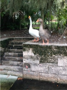 """The ducks that are normally seen swimming the the pond, were spotted on the """"island."""" Residents say this is very unusual. (WUFT News)"""