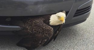 A photo from the Clay County Sheriff's Office shows a bald eagle wedged in a vehicle near Green Cove Springs in Clay County. The bird was freed unharmed after a passing motorist noticed the bird. (Billi West/Clay County Sheriff's Office via AP)