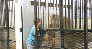 Denise Brown, a Green Cove Springs resident, moves her horse Gus from one stall to another stall. Brown has brought her five horses. (Cassandra Alamilla/WUFT News)