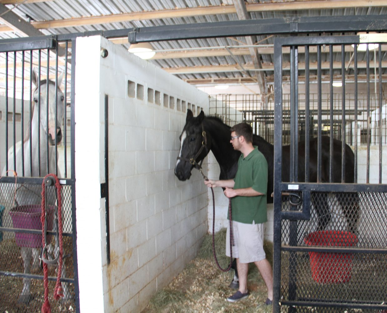 Steve Young, Broederdorf's partner, moves Treasure into her stall, next to Willy (left), Treasure's boyfriend. Willy was unstill and neighing before Treasure was moved in; Broederdorf said Willy was like that because he missed his girlfriend and he is not comfortable with the new environment. (Cassandra Alamilla/WUFT News)