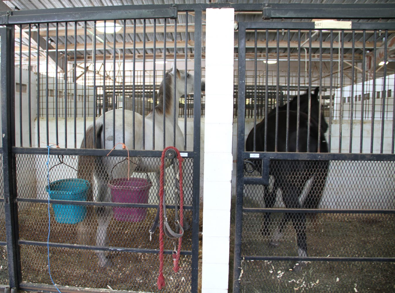 "Willy (left) looks into Treasure's stall (right) through the small holes in the wall; Treasure is Willy's girlfriend. Treasure is also pregnant and Jeff Broederdorf said he is ""worried that she might stress out and lose her baby."" (Cassandra Alamilla/WUFT News)"
