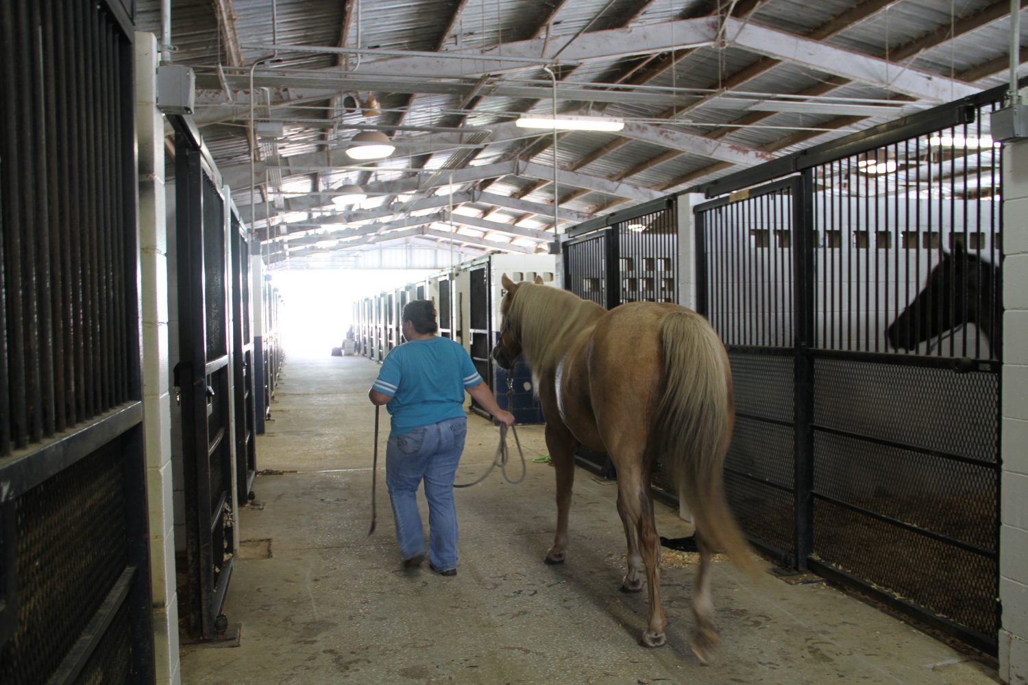"Denise Brown moves Gus to another stall in the pavilion. Brown is grateful for the pavilion offering the stalls. ""It takes a pile off my shoulders just to know that they're going to be safe,"" Brown said. (Cassandra Alamilla/WUFT News)"
