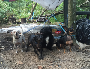 Sherman and Ashcraft's four dogs live with them at their site in the Sweetwater Branch homeless camp. (Michaela Steakley/WUFT News)