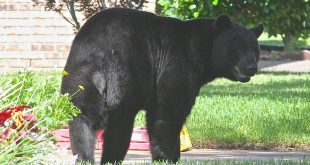 To understand how the population of bears in Florida will continue to grow, the Florida Fish and Wildlife Conservation Commission has begun a three-year study to collect data on bear population demographics in northwest Florida. (Photo provided by the Florida Fish and Wildlife Conservation Commission)