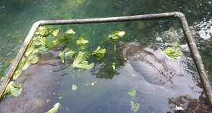 Two rescued manatees eat lettuce from park officials Friday at Homosassa Springs Wildlife State Park. These manatees are kept separate from the wild ones that will be given access to the warm springs starting Nov. 15. (Miguel Torrellas/WUFT News)
