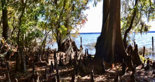 Signature cypress knees in the shallow waters surrounding Newnans Lake.(Monica Humphries/WUFT News)