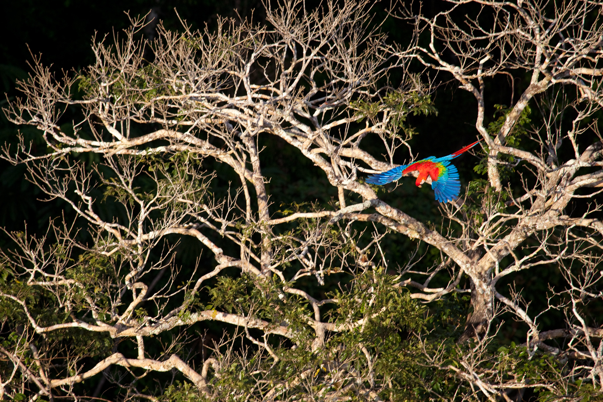 Red and Green Macaw at CICRA from tower. Photo by Gabby Salazar.