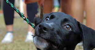 Raider, a puppy, waits for his chance to grab a stick. (Lawson Nuland/WUFT News)