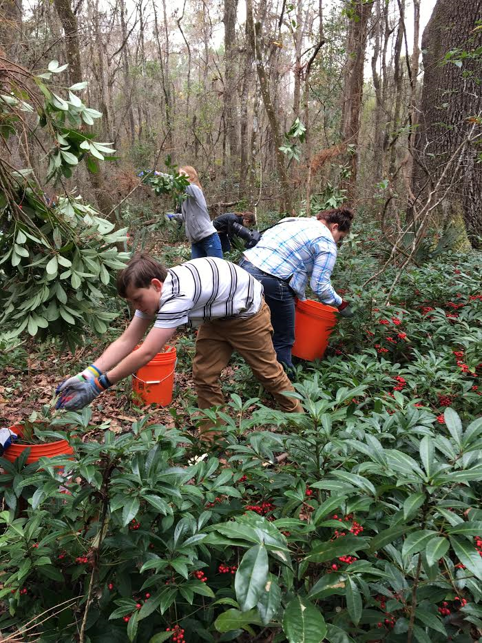 Over 900 volunteers helped uproot Coral Ardisia plants at 26 different Gainesville locations during the Great Invader Raider Rally. (Romy Ellenbogen/WUFT News)