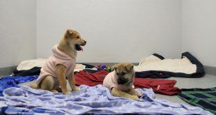 Bernard and Louie are two puppies rescued from a South Korean dog meat farm, who will be up for adoption at the Alachua County Humane Society (Molly Vossler/WUFT News)