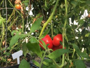 Red ripe tomatoes hang hidden within the tomato plant. 70 to 100 people, women and men, young and old, were asked to describe the taste of tomatoes tested in the study. (Janine Wolf/WUFT News)