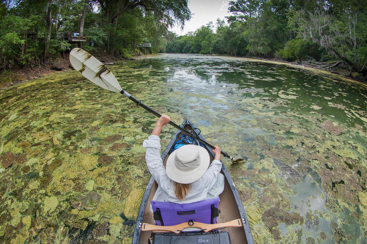 Lesley Gamble paddles through dense mats of algae on the Santa Fe River in 2012. (photo courtesy of John Moran)