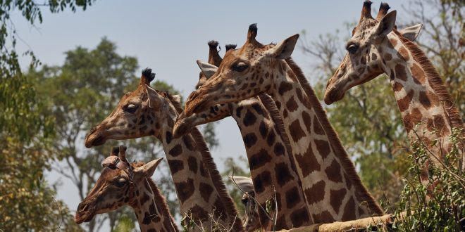 NATURE: Giraffes – Africa's Gentle Giants – Wednesday at 8 p.m.