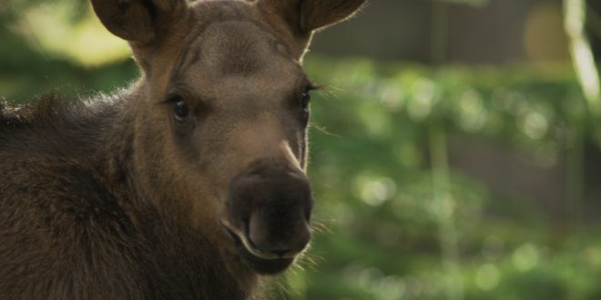NATURE: Moose – Life of a Twig Eater – Wednesday at 8 p.m.
