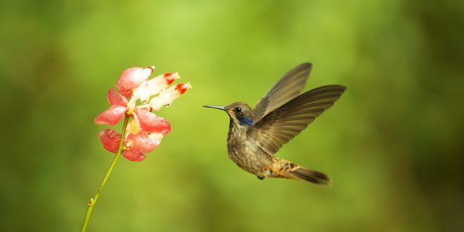 NATURE: Super Hummingbirds – Wednesday at 8 p.m.
