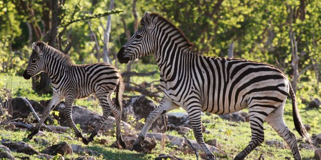 Nature's Great Race: Zebra – Wednesday at 8 p.m.