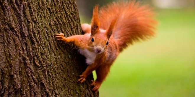 NATURE: A Squirrel's Guide to Success – Wednesday at 8 p.m.