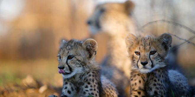 NATURE: The Cheetah Children – Wednesday at 8 p.m.