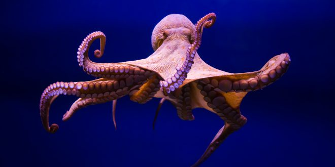 NATURE: Octopus Making Contact – Wednesday at 8 p.m.