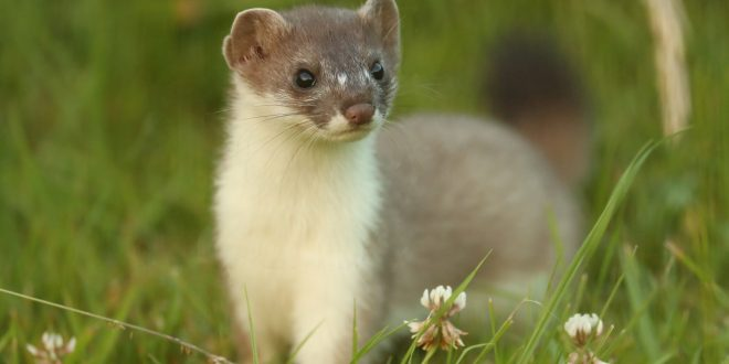 NATURE: The Mighty Weasel – Wednesday at 8 p.m