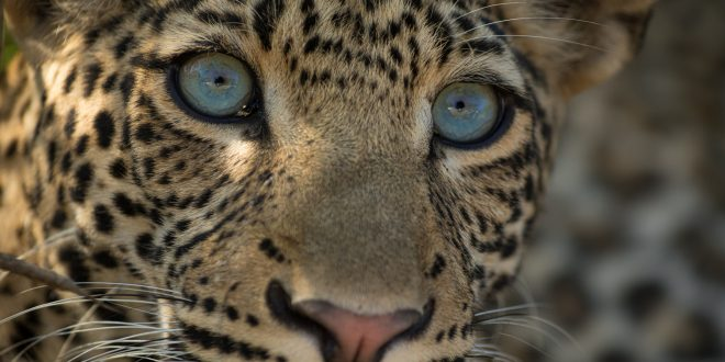 NATURE: The Leopard Legacy – Wednesday at 8 p.m.
